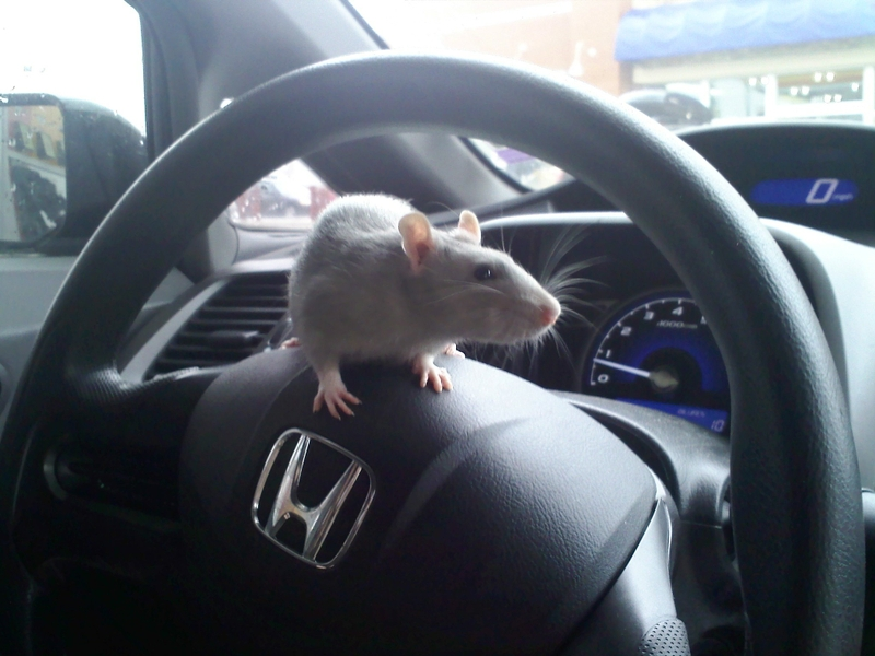 mouse in car